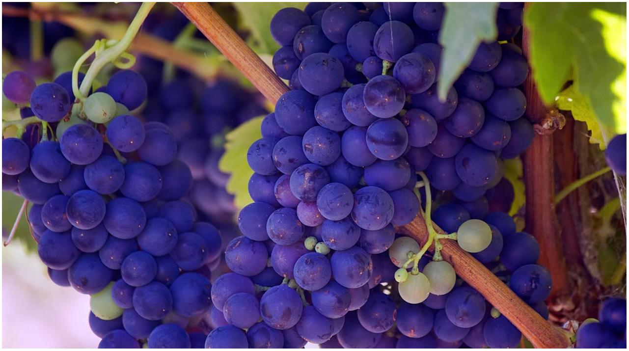 Cercasi 30 Operai agricoli per manutenzione vigne